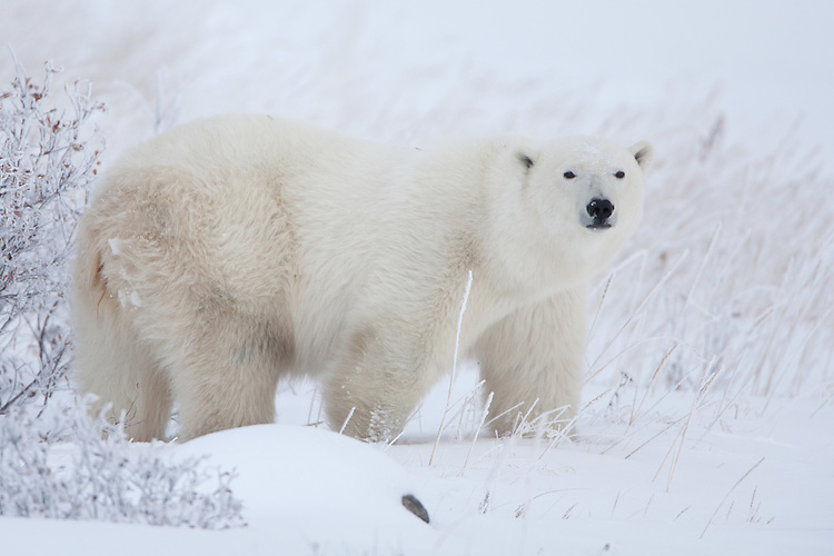 Polar Bear standing and watching in a snowy field