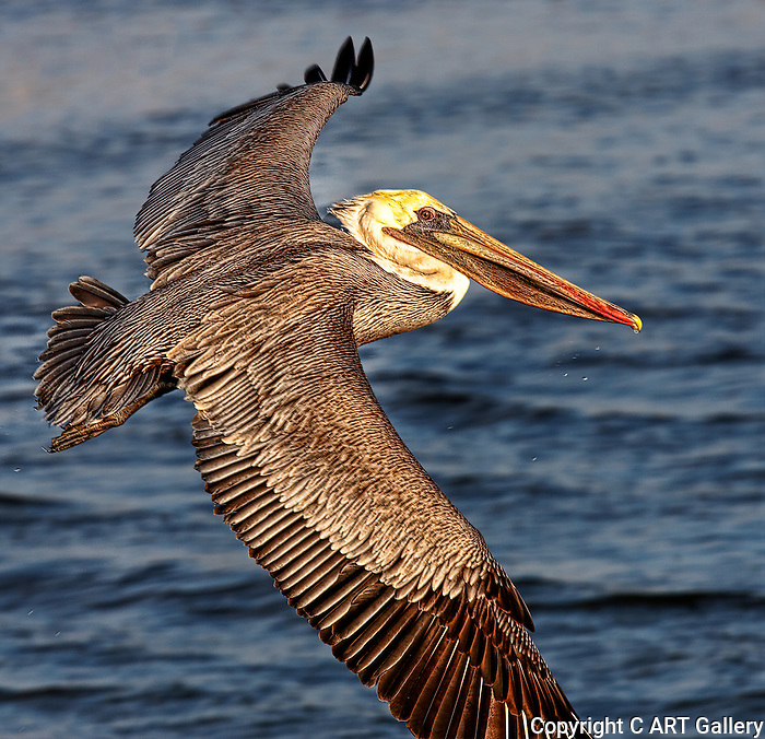 Pelican 1, soaring at Bolsa Chica, CA.
