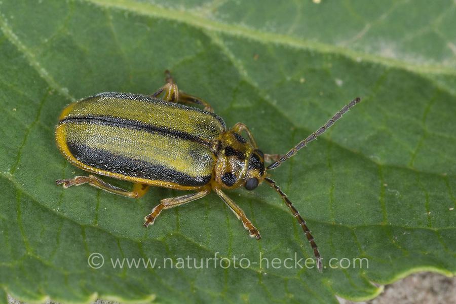Ulmen-Blattkäfer, Ulmenblattkäfer, Blattkäfer, Xanthogaleruca luteola, Galeruca luteola, Pyrrhalta luteola, Elm-leaf beetle, Elm Leaf Beetle, Elm Leaf-Beetle