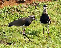 Southern lapwing pair