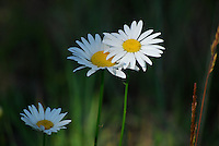 Wild white daisies in a background of green