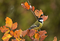 Great Tit (Parus major), adult perched on autumn branch of European beech (Fagus sylvatica) , Oberaegeri, Switzerland, Europe