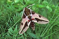 Spurge Hawk-moth - Hyles euphorbiae