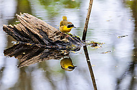 Common Yellowthroat male (Geothlypis trichas). Great Lakes region. May.