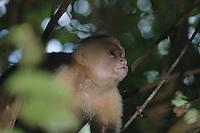 White-faced Capuchin, Cebus capucinus, adult, Manuel Antonio National Park, Central Pacific Coast, Costa Rica, Central America, December 2006