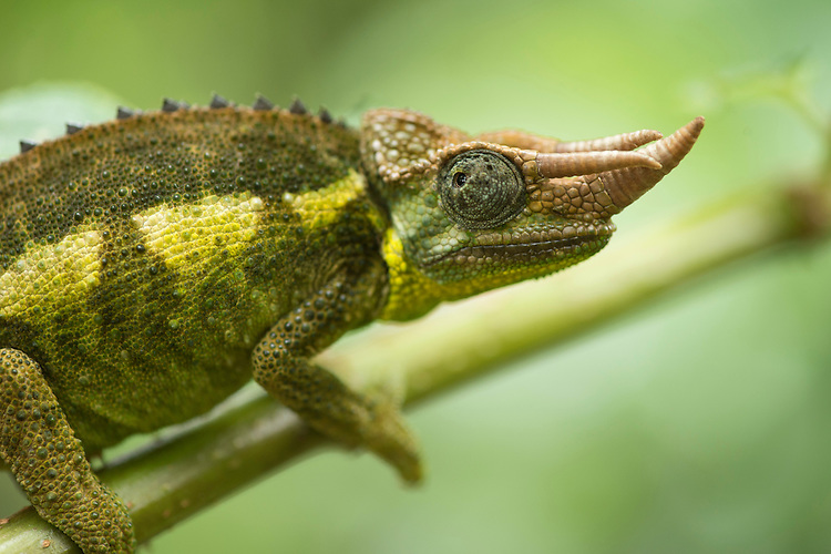 Jackson's or three horned chameleon, Trioceros jacksonii, Kenya. Taken as part of a documentation of the Ecological Restoration Alliance, a group of botanic gardens restoring 100 damaged habitats on six continents, this story was shot in Kenya. Here thousands of acres of forest were removed in the early 1900's for the production of mono culture crops of tea and the eucalyptus used to dry it. In just 12 years the NGO Plants for Life has restored a eucalyptus plantation into a thriving forest with over 150 bird species, a wide range of mammals and hundreds of rare and endangered tree species. Brackenhurst, Near Limaru. Kenya.