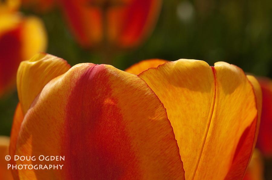 Edge of a Tulip petal
