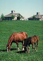 Horses feeding on grass at a classic Kentucky Blue Grass horse farm, Lexington, KY. Lexington Kentucky.