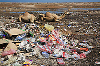 Somaliland. Sahil province. Berbera. Two camels rest on the ground near an open air landfill. Plastic, waste, metal cans, carboard, plastic bootles and various rubbish are left in a public garbage heap. Somaliland is an unrecognized de facto sovereign state located in the Horn of Africa.  © 2006 Didier Ruef