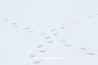01874-13213 Polar Bear (Ursus maritimus) tracks Churchill Wildlife Management Area, Churchill, MB