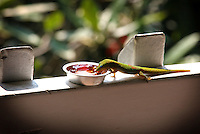 Gecko eating a breakfast of jam, Kona, Big Island.