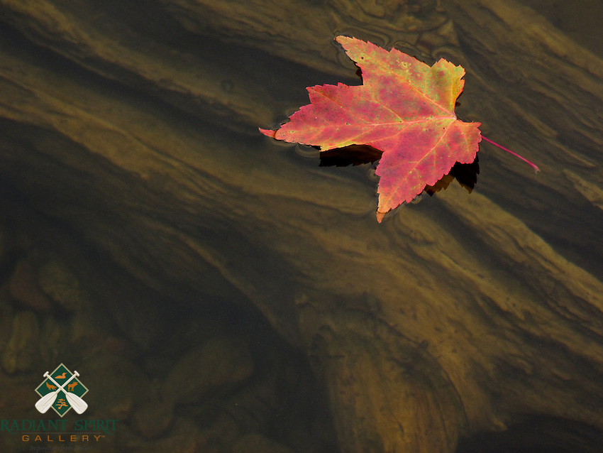 &quot;Driftwood and Maple Leaf&quot;<br /> <br /> A maple leaf floats with tranquility above driftwood on Saganagons Lake in the Quetico Provincial Park, Canada.