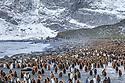 Colonies of King Penguins (Mirounga leonina) and Southern Elephant Seals (Mirounga leonina) on beach at Gold Harbour, South Georgia. November.