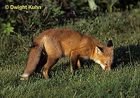 FX03-003z  Red Fox - several months old - Vulpes vulpes