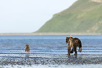 Evil Bastard (AKA Licorice) goes after BooBoo (Lady Hook's spring cub). Kodiak grizzly bear (Ursus arctos middendorffi), Hallo Bay