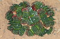 Haworthie, Haworthia truncata, Horse's teeth