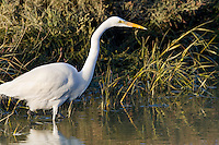 A Great Egret stands on the edge of a marsh.