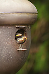 Baby sparrows peering from Acorn Birdhouse.