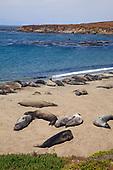 Elephant Seals, Piedras Blancas, San Simeon, San Luis Obispo County, California, USA