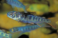 """CHINOOK SALMON aka """"King"""" salmon juvenile has not yet reached maturity to migrate to the ocean for the adult years..Pacific Coast from California to Alaska..(Oncorhynchus tschawytscha)."""