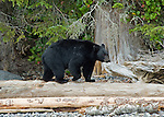 Black bear walking along the shoreline searching for food