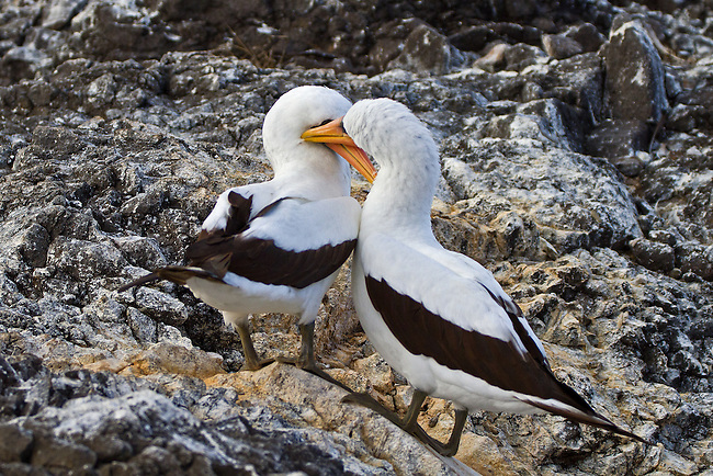 "Male Nazca Booby is giving his female an affectionate peck on her ""cheek"" as the couple balance on the gray, black and golden lava rocks of Espanola Island, in the Galapagos where the Nazca Boobys are endemic."