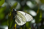Black Veined White butterfly, Aperia crataegi, backlight by sun in garden, Southern Europe, rare migrant to UK, soft.Europe....