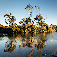Native kahikatea trees reflecting in Gillespies Lagoon, Westland Tai Poutini National Park, West Coast, South Westland, UNESCO World Heritage Area, New Zealand, NZ