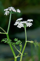 FINE-LEAVED WATER-DROPWORT Oenanthe aquatica (Apiaceae) Height to 1.3m. Upright, bushy biennial with shiny, hollow and grooved stems. Found around the margins of still and slow-flowing waters. FLOWERS are white and borne in flat-topped umbels, 2-5cm across, both terminal and arising opposite leaf stalks (Jun-Sep). FRUITS are ovoid. LEAVES are delicate-looking; submerged ones are 3- or 4-pinnate with fine lobes while aerial leaves are 3-pinnate with ovate segments. STATUS-Widespread in England, E Wales and Ireland but extremely local.
