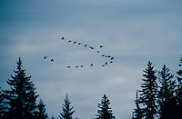 Geese flying in formation in Alaska