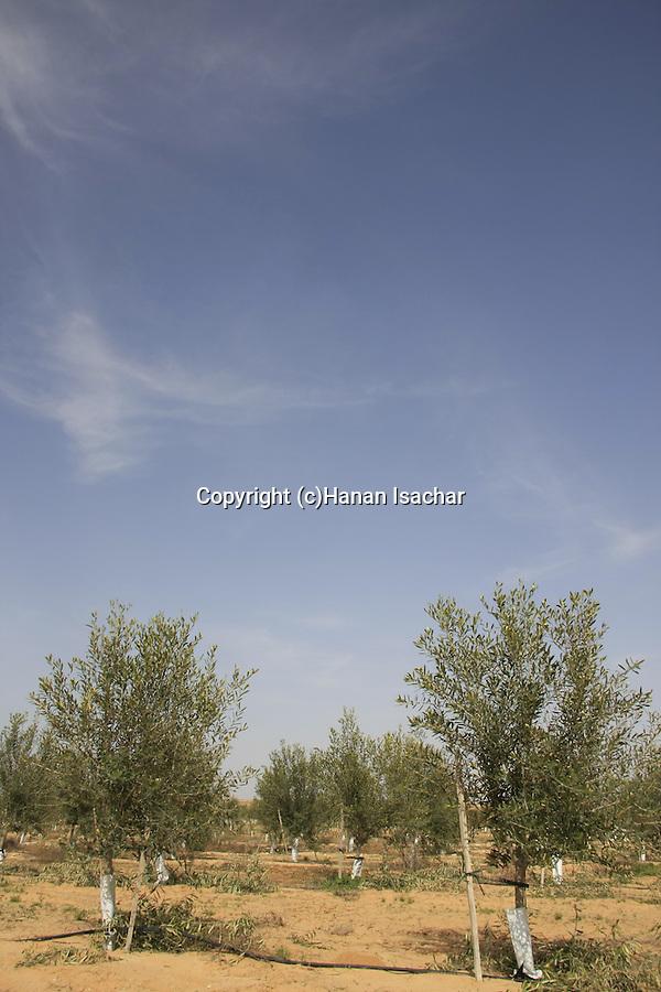 Israel, Negev. An Olive grove in Kibbutz Revivim