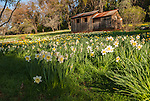 McLaughlin's Daffodil Hill in bloom, Volcano, Calif.<br /> <br /> The old cabin