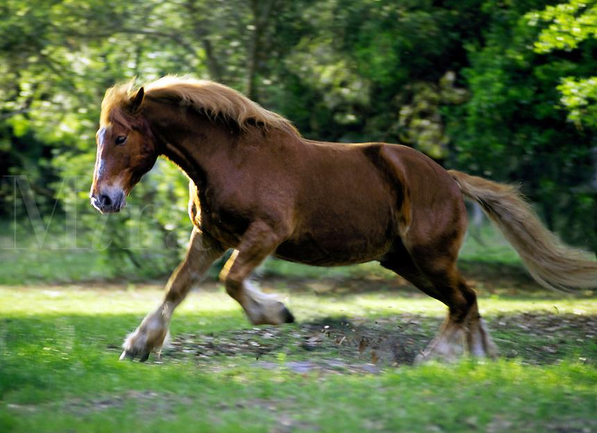 Suffolk Punch Draft Horse stallion.