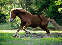 Suffolk Punch Draft Horse stallion.