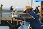 brown pelican fishing near fisherman