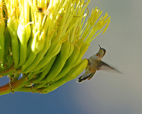 Immature male broad-tailed hummingbird at century plant bloom