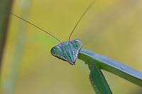 Praying Mantis; Tenodera aridifolia; PA, Philadelphia, Schuylkill Center