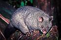 Bobuck or Mountain Possum (Trichosurus cunninghamii), Tree Fern. Central Highlands, Victoria.