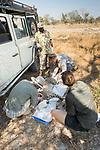 Cheetah (Acinonyx jubatus) biologists, Caz Sanguinetti, Jonah Gula, Milan Vinks, and park scout, Charles Kalatambala, collaring twenty-one month old sub-adult female, Kafue National Park, Zambia