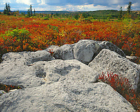 Blueberry bushes in fall color; Dolly Sods Wilderness Area; Monongahela National Forest, WV