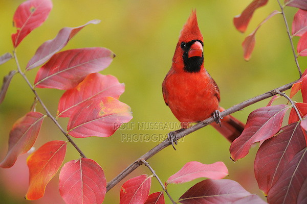 Northern Cardinal (Cardinalis cardinalis), adult male on Crape Myrtle (lagerstroemia), New Braunfels, San Antonio, Hill Country, Central Texas, USA