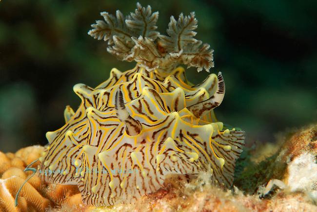 Willeys Halgerda, Halgerda willeyi, Nudibranch yellow and brown striped, Anilao, Batangas, Philippines, Amazing underwater Photography