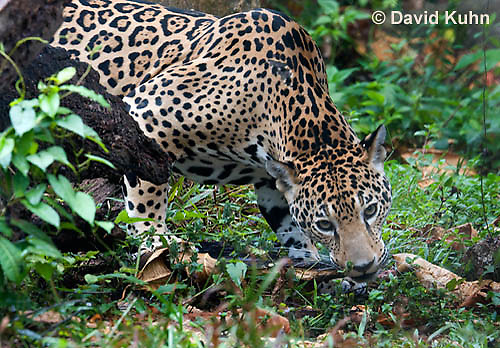 0522-1119  Goldman's Jaguar, Belize, Panthera onca goldmani  © David Kuhn/Dwight Kuhn Photography