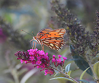 Courtesy photo/TERRY STANFILL<br /> REST STOP<br /> A gulf fritillary lights on wildflowers in west Benton County. Terry Stanfill of the Decatur area took the picture Oct. 9 at Swepco Lake near Gentry.