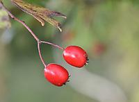 Midland Hawthorn - Crataegus laevigata