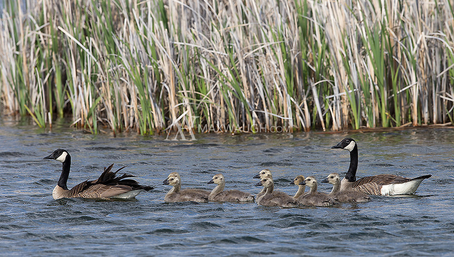 A family of Canada geese travels through the Market Lake Wildlife Management Area.