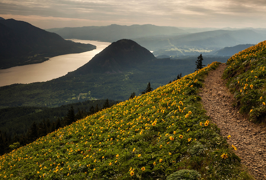 The view from near the summit of Dog Mountain in Washington State during the peak bloom of Balsamroot flowers.