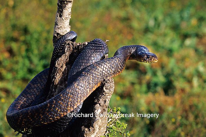 02811-00103 Texas Indigo Snake (Drymarchon corais erebennus) Starr Co. TX