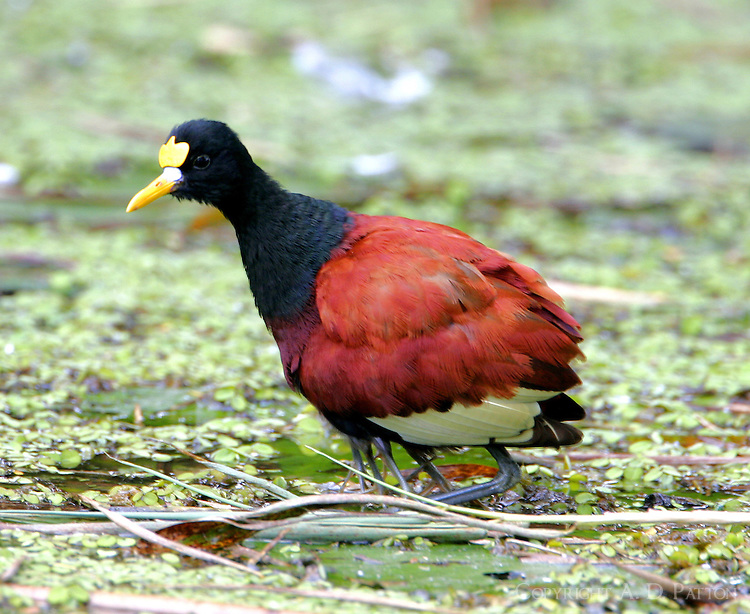 Adult northern jacana warming the chicks. Note all the little legs under the adult bird.