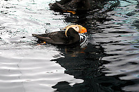 A tufted puffin swims at the Seward SeaLife Center, one of the major attractions for visitors traveling on the Alaska Railroad's Coastal Classic train.